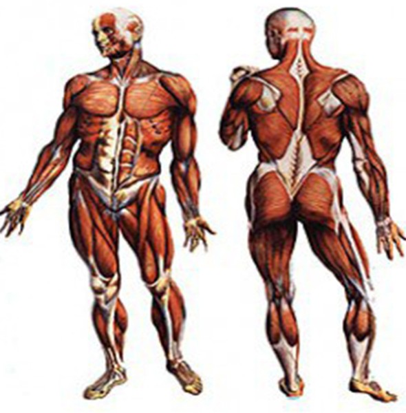 Cadenas Musculares