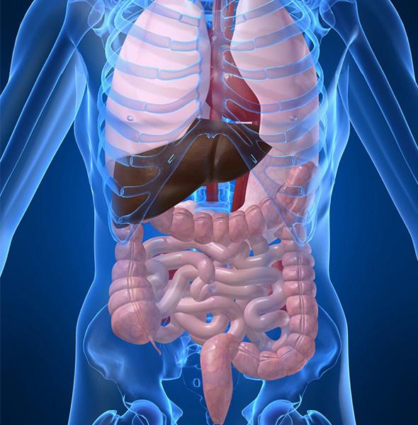 disfunciones-viscerales-y-su-repercusion-en-las-cadenas-articulares-musculares